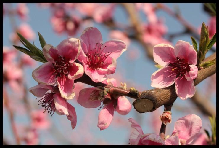 premiere-fleur-darbre-fruitier